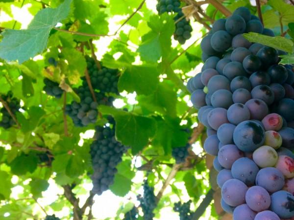 Спад между 30 - 40 % на добива на грозде