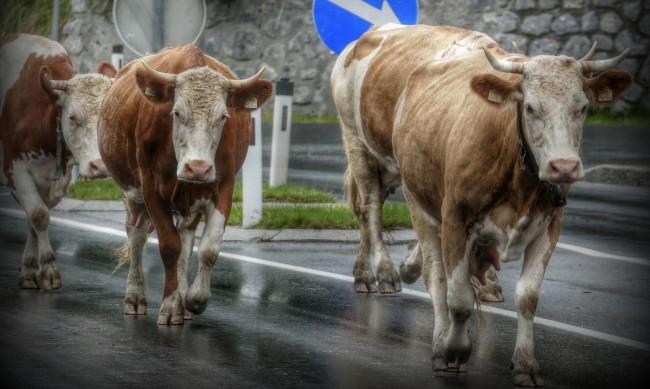 """Жители на кв. """"Кремиковци"""" протестират срещу животни на пътя"""