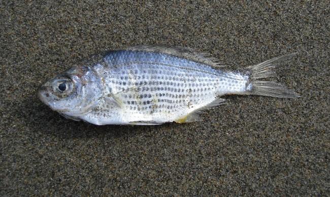 Мъртва риба изплува по поречието на р. Тунджа