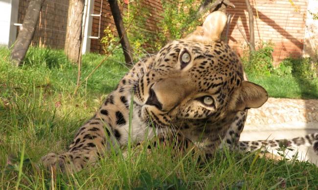Дан и Азара - двойката персийски леопарди в столичния зоопарк