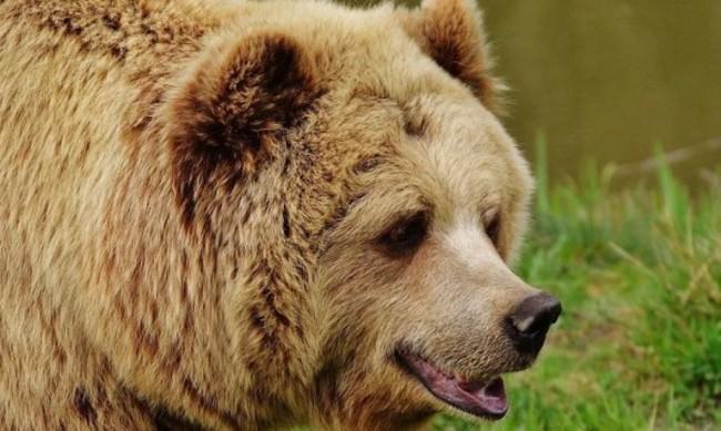 Заради лоши условия, мечка от Северна Македония идва у нас
