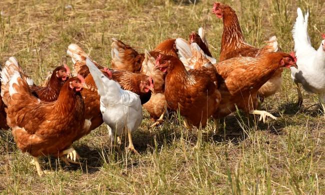 26 000 българи против отглеждането на кокошки в клетки