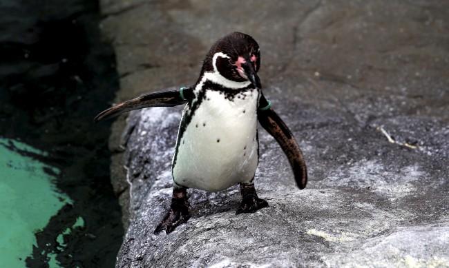 Пингвини от лондонски аквариум гледат филми в епидемията