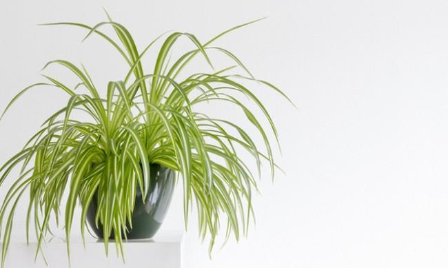 Хлорофитум прочиства въздуха в дома
