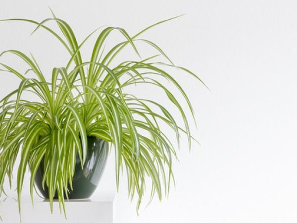 Хлорофитум или наричан още зелена лилия, е прекрасно растение, подходящо