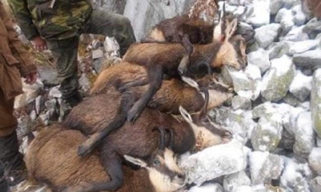 Убиват ли бракониери бременни диви кози в Пирин?