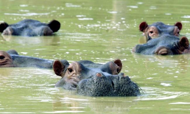 Хипопотамите на Пабло Ескобар трябва да бъдат избити, но общността ги обича