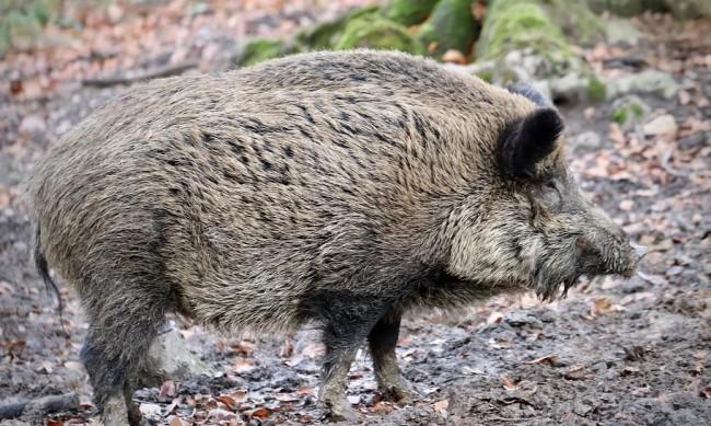 11 души са с трихинелоза в Благоевградско заради месо от дивеч