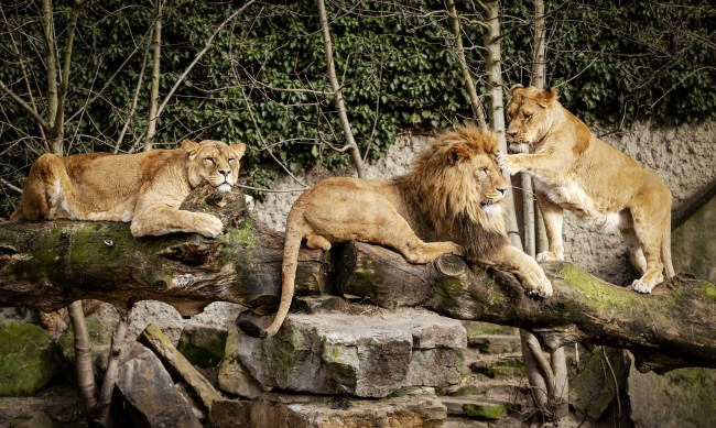 Горила и лъвове в зоопарка в Прага са положителни за COVID-19