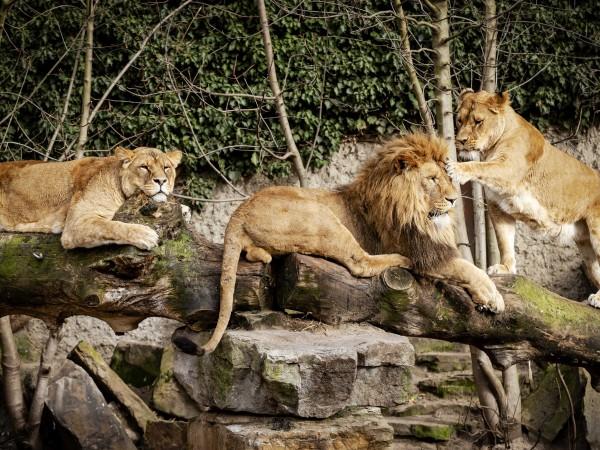 Горила и два лъва в зоопарка в Прага са дали