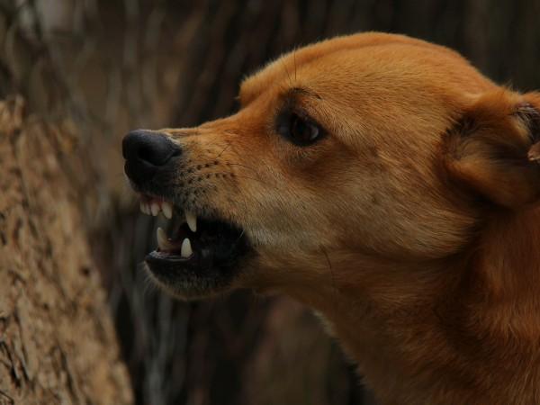 Глутница от бездомни кучета нападна и нахапа 9-годишно дете в