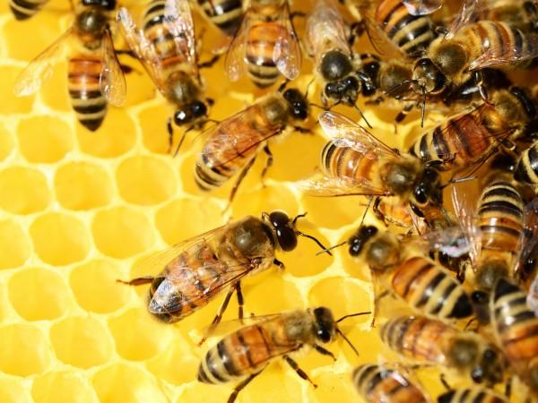 Агенцията по храните започва масови проверки на пчелните семейства и