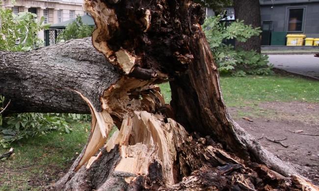 Дърво падна в центъра на Кюстендил, затвори кръстовище