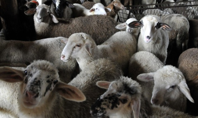Великден идва: Крадец сви 7 агнета и овен от село край Добрич
