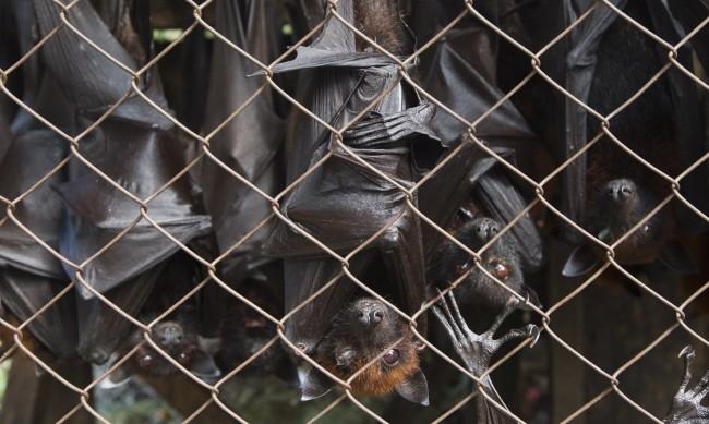 """""""Ловци на вируси"""": Учени хващат прилепи, търсят нови щамове на COVID"""
