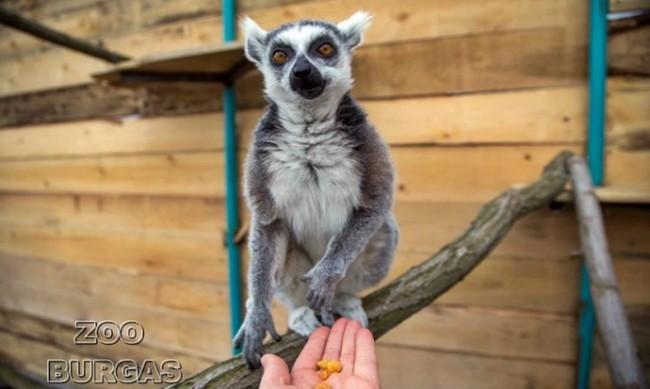 Бейби бум в Зоопарк Бургас - лемур, муфлонче и ему