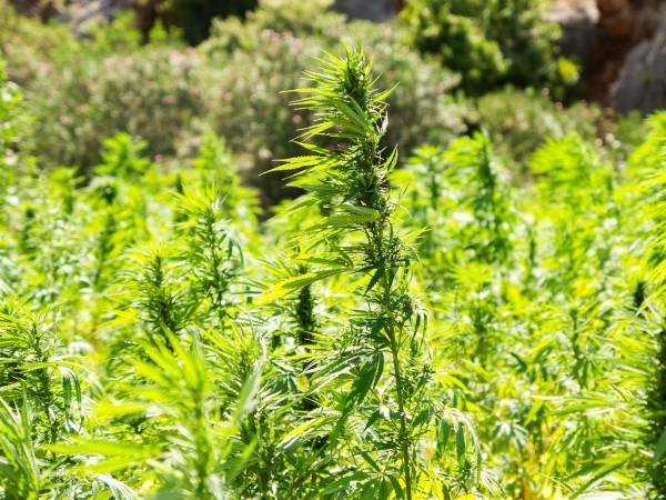 Разбиха оранжерия за марихуана в Перник, съобщи . Двама души