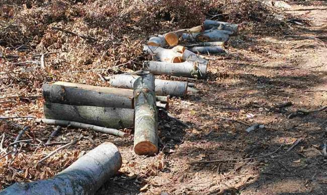 Местни от Криводол спряха сеч на борова гора