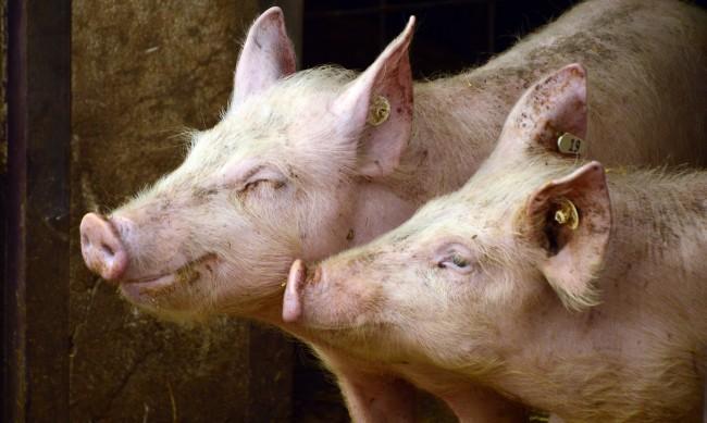 БГ фермери вече могат да изнасят свинско в ЕС