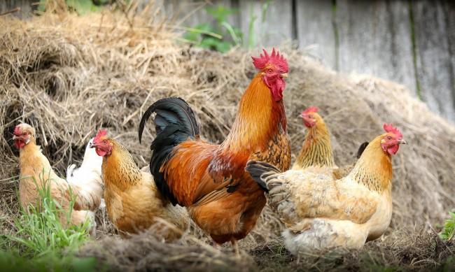 Недоволство в Хасковско заради умъртвени кокошки