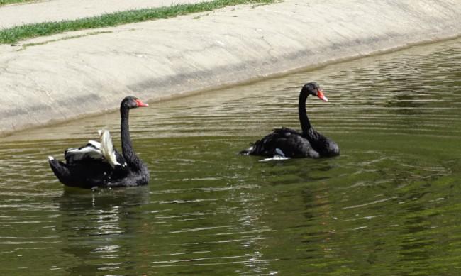 Нова двойка черни лебеди ще обитава езерото над Благоевград