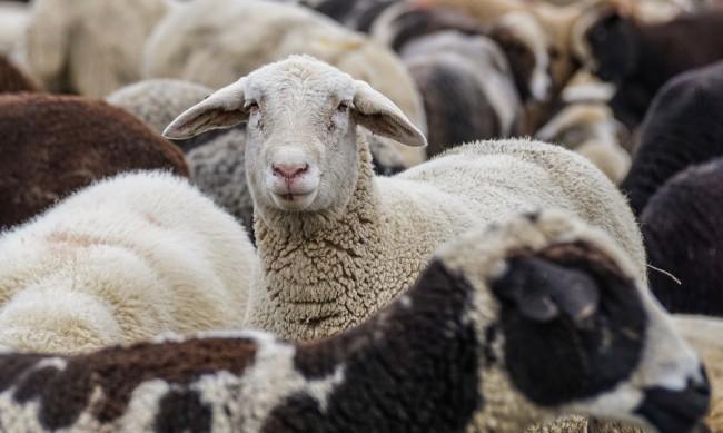 Овцете в България намалели от 16,5 на 2,7 милиона през прехода