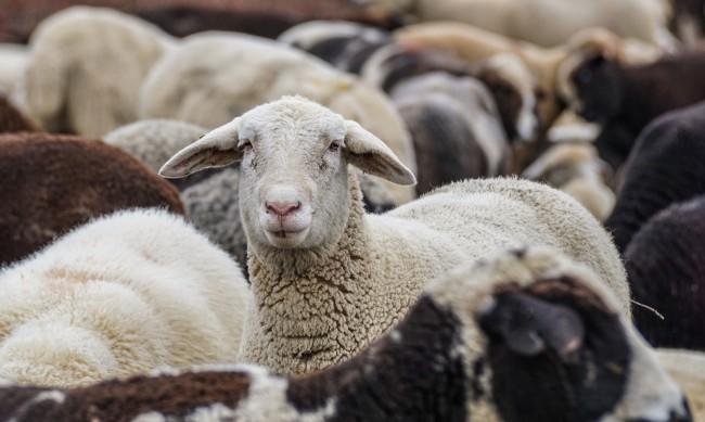 Мними фермери прибират по половин милион лева за 1000 овце на хартия