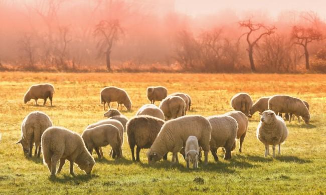 БАХБ отрича да има виртуални овце, има динамика на броя на животните
