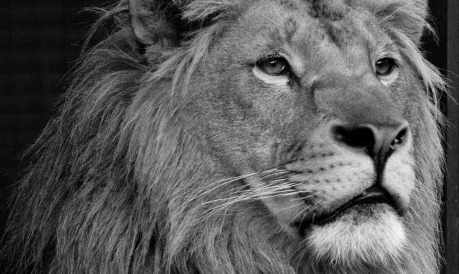 Спасеното лъвче Терез почина от бъбречна недостатъчност