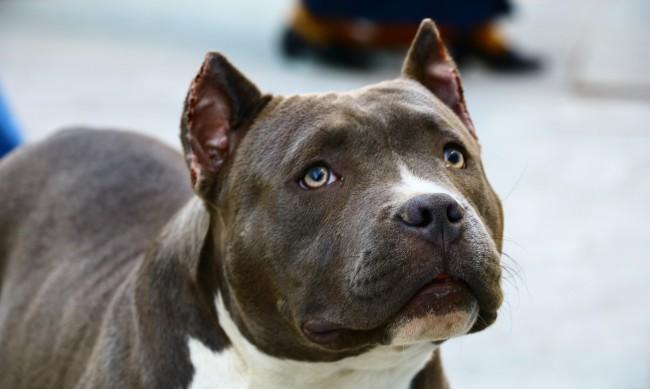 Питбул нападна и уби малко куче до столично училище