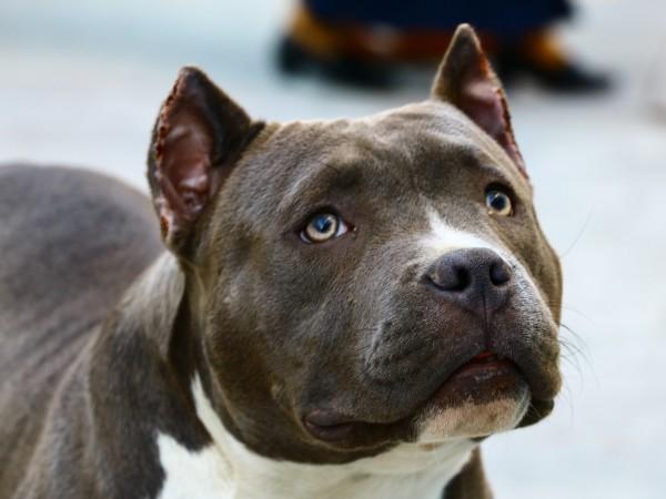 Питбул нападна и уби малко куче до столично училище. Питбулът