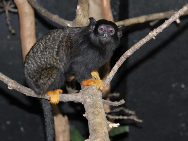 След дълго очакване столичната Зоологическа градина получи нов вид примати