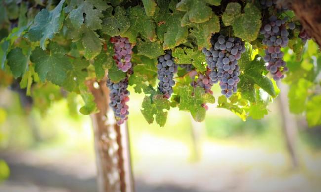 Половината лозя пустеят, внасят суровината за вино