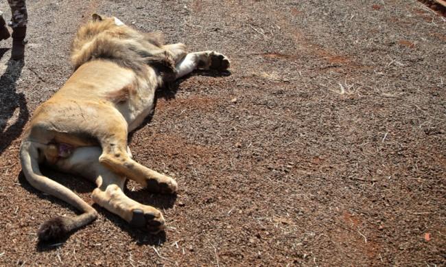 Лъв в индийски зоопарк бе покосен от... коронавирус