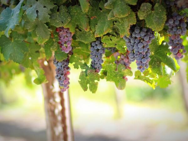Парадкосалното е, че българският гроздопроизводител получава субсидия, каквато получава и