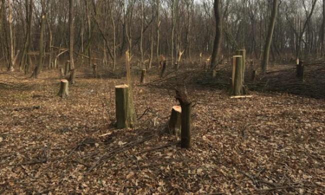 Близо 1000 дървета са отсечени незаконно само за седмица