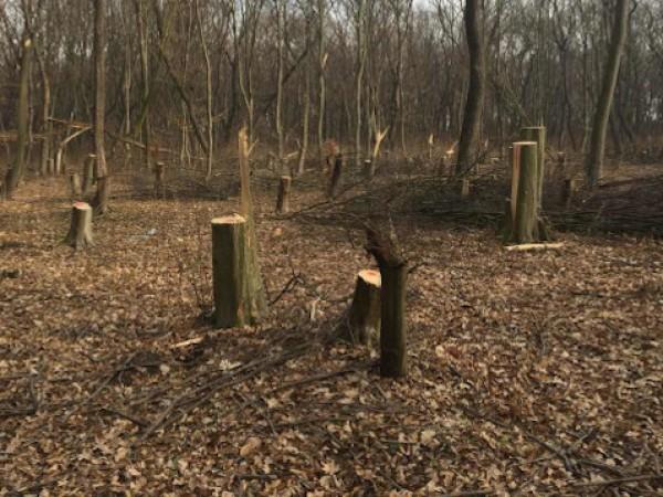 Близо 1000 дървета са незаконно отсечени само за последната седмица.