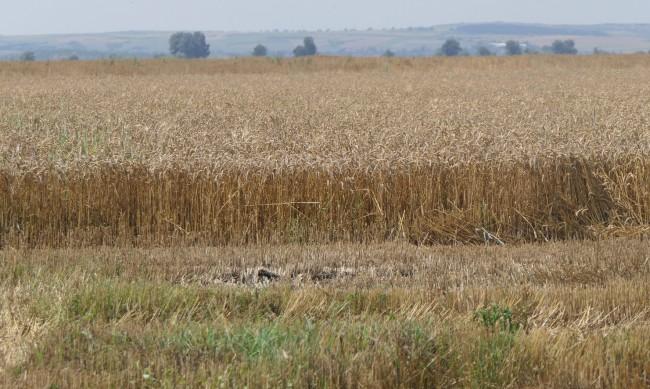 Скок в изкупните цени на пшеницата, стопани продават за 400 лв. на тон
