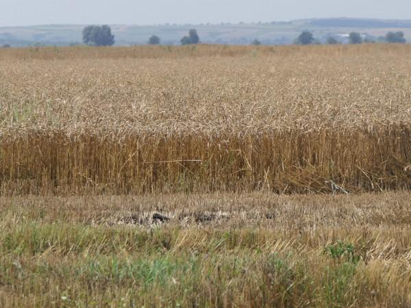 По-добра зърнена реколта от миналогодишната прогнозират стопаните в Бургаска област.