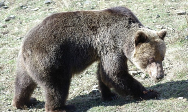 Няма да отстрелват мечката, нападнала жена в Белица