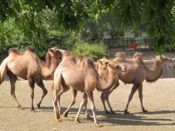 Четири двугърби камили пристигнаха в зоопарка в София от зоологическата