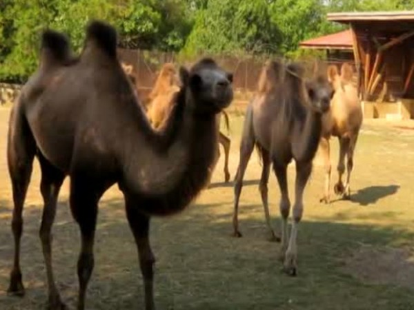 Четири двугърби камили пристигнаха в столичния зоопарк от Унгария. Трите