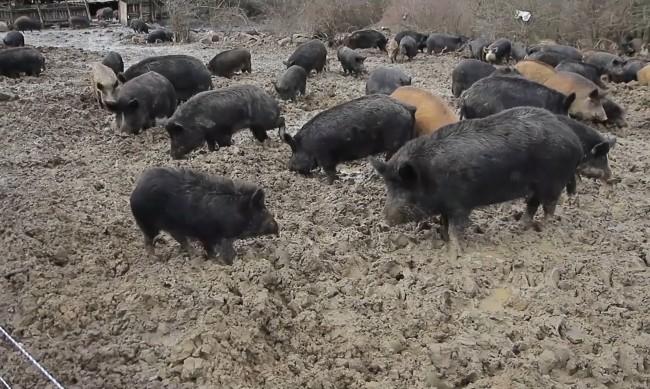 Умъртвиха прасета в Пазарджишко заради огнище на АЧС