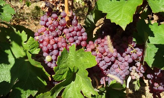 Полицията ще пази гроздобера в Пазарджишко