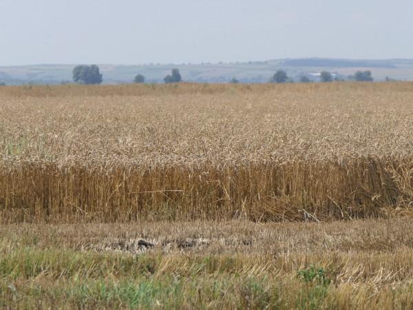 С 52% повече е добитата пшеница през 2021 г. от