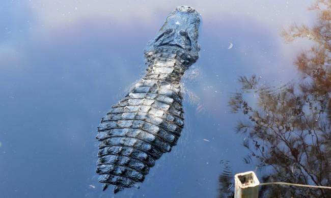 Отнесен от ураган бе намерен в... корема на алигатор