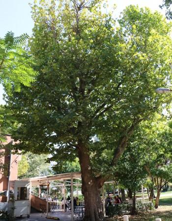 Обявиха за защитени три вековни дървета в София