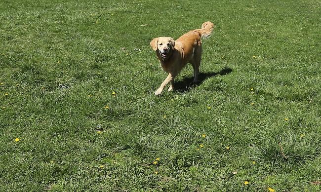 Сигнали от София: Стопани извеждат кучетата си без каишка и намордник