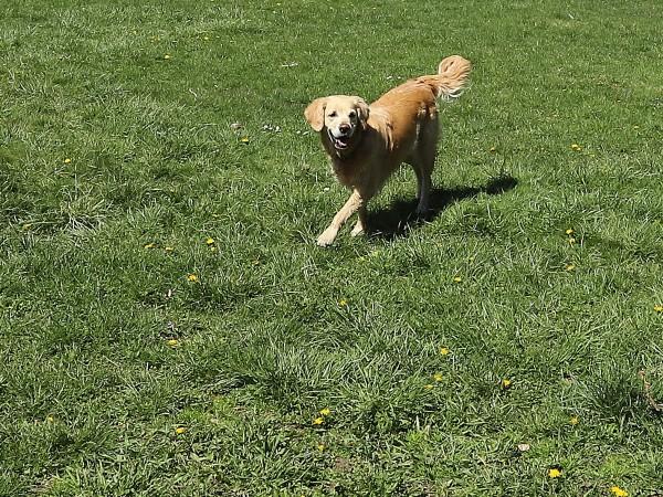 Според действащата наредба извеждането на домашни кучета без каишка и