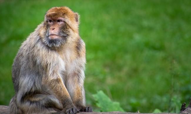 Учени създадоха сперматозоиди от маймунски стволови клетки